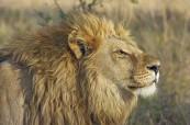 Lev, král zvířat, Travelling Classroom