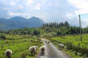 Kdo miluje krásnou přírodu a ovečky všude kam dohlédne, je pro něj Irsko ta pravá země, kde by měl studovat